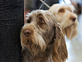 AKC Deutsch Drahthaar Dog Show 2013.jpg