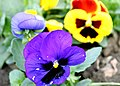 A Hybrid Pansy (Viola tricolour) is attracting attention of visitors in the Mughal Garden, Rashtrapati Bhavan, in New Delhi on February 16, 2005.jpg