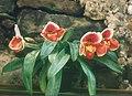 A and B Larsen orchids - Paphiopedilum Dark Legend M4-13.jpg