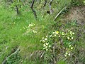 A bank of primroses - geograph.org.uk - 799060.jpg