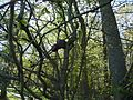 A blooming Paw Paw tree at Mason Neck. Tiger Swallowtails love these trees (14152885477).jpg