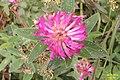 A clover (Kohlberg) (15538605249).jpg