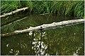 A crocodile - panoramio.jpg