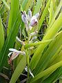 A flower of Galanga plant சிறறரத்தை.JPG