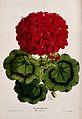 A flowering pelargonium plant (Pelargonium T̀he Baron') Wellcome V0044747.jpg