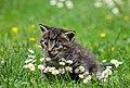 A kitten on the lawn (Pixabay).jpg
