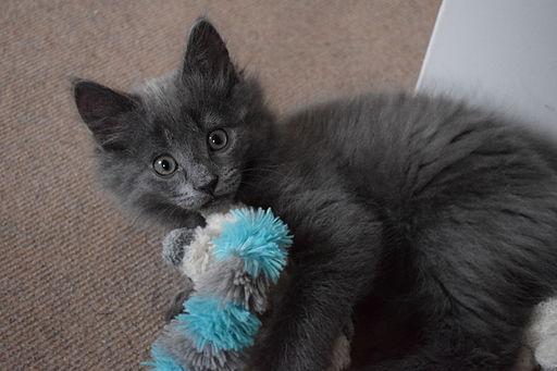 A kitten playing
