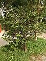 A shrub of ochna serrulata.jpg