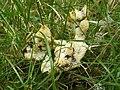 A slime mould - Fuligo septica var. flava - geograph.org.uk - 1416995.jpg