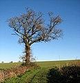 A solitary oak - geograph.org.uk - 1072945.jpg