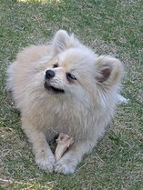 A white Pomeranian enjoying a treat.JPG