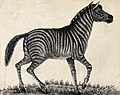 A zebra. Reproduction of an etching by F. Lüdecke. Wellcome V0020800.jpg