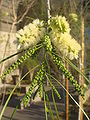 Acacia-willardiana-20080324.JPG