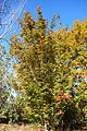 Acer henryi - Quarryhill Botanical Garden - DSC03286.JPG
