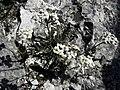 Achillea clavennae - Steinraute II.jpg
