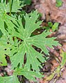 Aconitum lycoctonum in Morzine (3).jpg