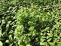 Aconitum napellus plant (04).jpg