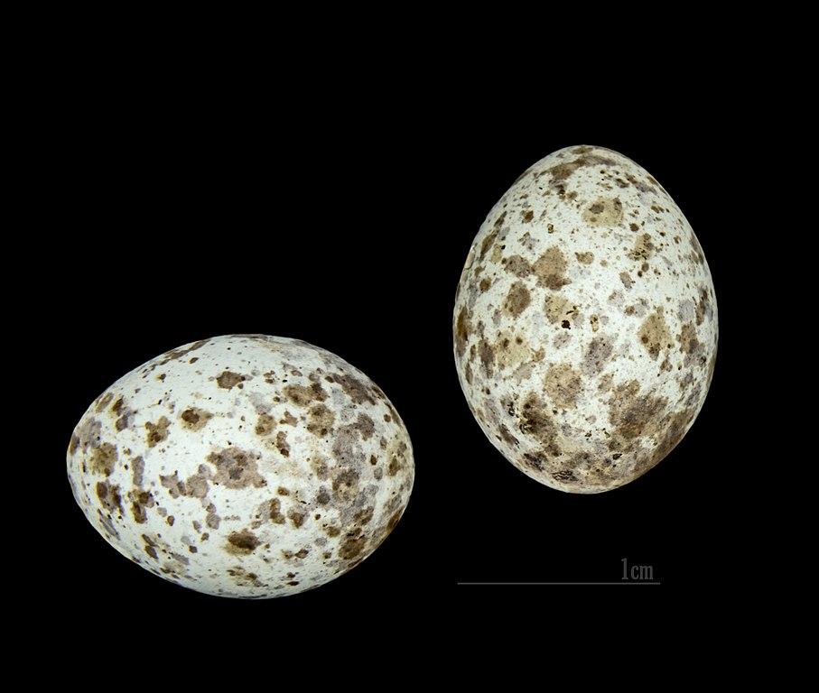 Trsteniarik bahenný (lat. Acrocephalus scirpaceus) - vajíčka