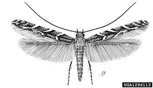Acrocercops brongniardella adult.jpg