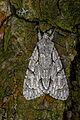 Acronicta psi, Lodz(Poland)02(js).jpg