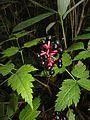 Actaea asiatica 4.JPG