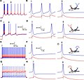 Action potential7.jpg