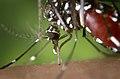 Aedes albopictus 2.jpg