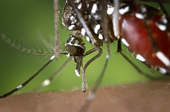 The proboscis of an Aedes albopictus mosquito feeding on human blood. Under experimental conditions the Aedes albopictus mosquito, also known as the Asian Tiger Mosquito, has been found to be a vector of West Nile Virus.