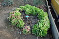Aeonium canariense - San Luis Obispo Botanical Garden - DSC05920.JPG