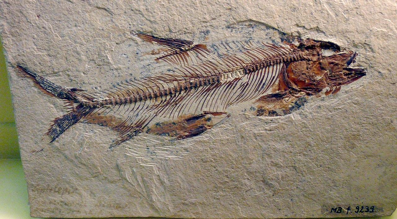 Fosili 1280px-Aethalion_knorri
