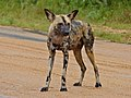 African Wild Dog (Lycaon pictus) on the road (14013202612).jpg