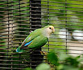 Agapornis roseicollis -Honolulu Zoo, Hawaii, USA -colour mutant-8a.jpg