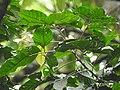 Aglaia canarana Andiparai DSCN0460.JPG