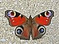 Aglais io (Nymphalidae sp.), Arnhem, the Netherlands.jpg