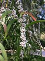 Agonis flexuosa Peppermint Kings Park Perth2.jpg