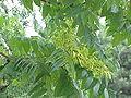 Ailanthus altissima2.jpg