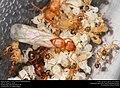Alate ant queen on top of brood (Pheidole dentata) (42171524992).jpg