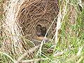Alauda arvensis nest.jpg