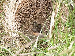 Škovránok poľný (Alauda arvensis) - znáška v hniezde