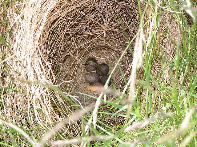 Hniezdo škovránka
