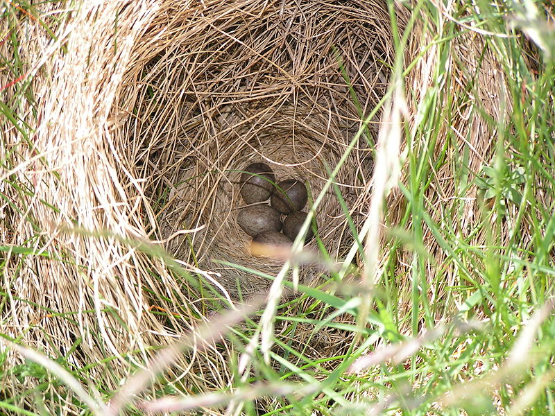 Soubor:Alauda arvensis nest.jpg