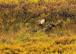 Alce (Alces alces), Parque nacional y reserva Denali, Alaska, Estados Unidos, 2017-08-30, DD 52.jpg