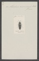 Aleochara - Print - Iconographia Zoologica - Special Collections University of Amsterdam - UBAINV0274 014 12 0017.tif
