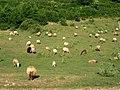 Allevamenti ovini monte Cucuzzo - panoramio.jpg