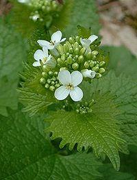 Alliaria petiolata2