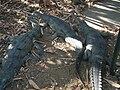Alligator 4.jpg