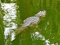 Alligator mississippiensis - Oasis Park - 05.jpg