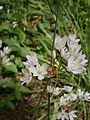 Allium roseum 004.JPG