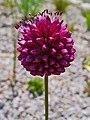 Allium spaerocephalon 002.JPG