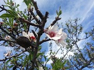 Almendro en Flor.jpg